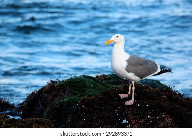 Seagull standing on a beach rock by the ocean at sunrise.