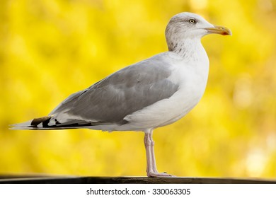 Seagull standing on his feet