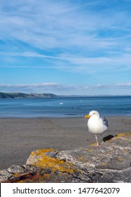 A Seagull standing on one foot on Looe Pier.