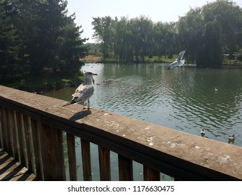 Seagull standing on the railing of a wooden dock next to a pond with another seagull flying  in the background