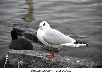 Seagull standing on a rock near the Vltava river in Prague