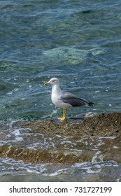 Seagull standing  on the rocks of the shoreline waiting patiently