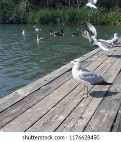 Seagull standing on a wooden dock next to a pond with other gulls and canadian geese in the background
