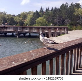 Seagull standing on the wooden railing of a bridge next to a lake with other seagulls in the background.