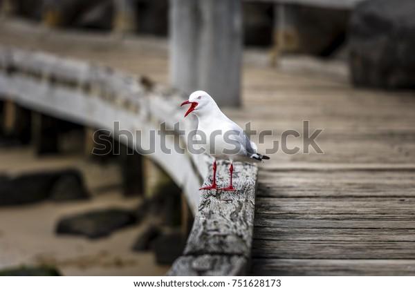 Seagull standing on the wooden St. Kilda pier, Australia