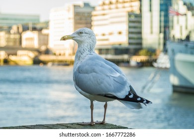 Seagull standing at Thames river bank