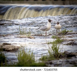 Seagull standing with Ventas Rumba waterfall in background