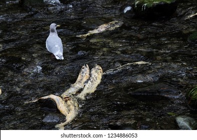 A seagull stands midstream between several dead chum salmon in Goldstream River, Vancouver Island, British Columbia.