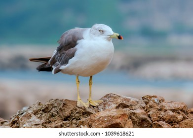 Seagull stands on a rock.