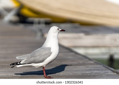 A seagull stands on a wooden jetty and observes the surroundings