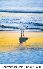 Seagull stands at shallow water of sea, reflection on yellow sunny range (copy space)