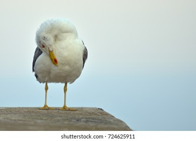 seagull starching his head