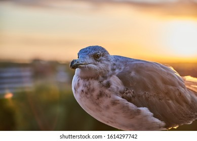 A seagull was staring at the camera. Seagull, Seagull portrait. Close up view of white bird seagull