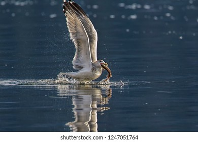A seagull starts to fly off with a fish it caught in Coeur d'Alene Lake in north Idaho.