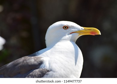 Seagull in sunlight staring.