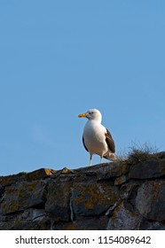 Seagull in Suomenlinna, Castle of Finland in English, an island fortress in the Gulf of Finland, protecting the capital city of Helsinki. Suomenlinna is an UNESCO World Heritage Site.