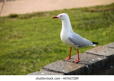 A seagull surveying his surroundings - probably looking for someones lunch to steal!