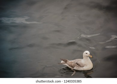 Seagull swimming in the sea on a summer overcast day, one bird, blue water, Iceland.