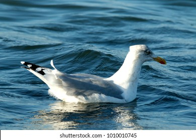 Seagull swims in the sea