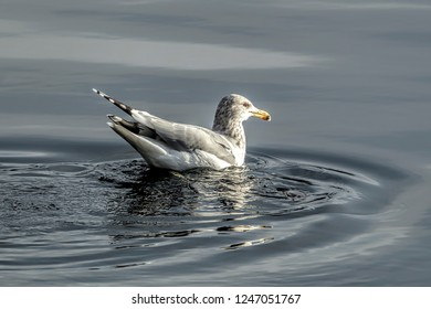 A seagull swims in the water looking for fish in Coeur d'Alene Lake in Idaho.
