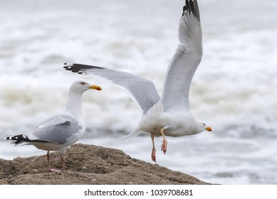 Seagull take off in front of the ocean.