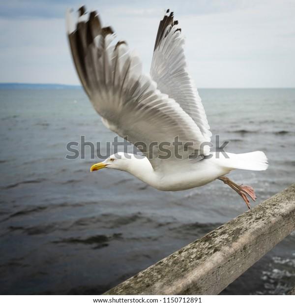 Seagull taking off the wooden pier in Binz, Ruegen, Germany