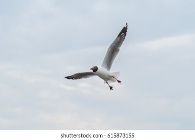 Seagull in Thailand