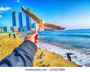 The seagull trying to eat a Saeukkang snack , Haeundae Beach, Busan, South Korea