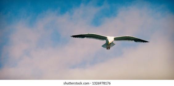 Seagull at Ventura Pier California