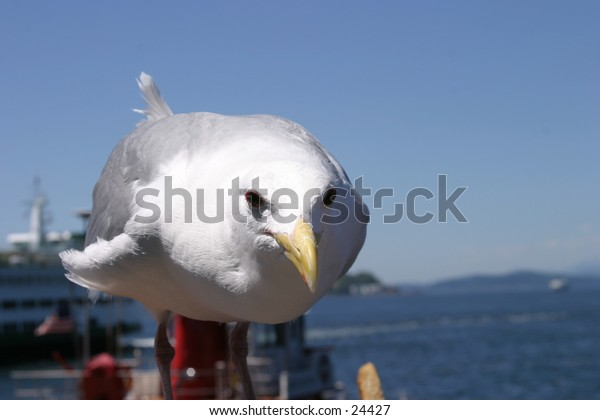 Seagull waiting for a hand out at an outdoor restaurant in seattle washington with the pacific coast in the background