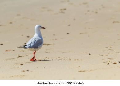 A Seagull walking along an Australian beach on a hot summer's day.