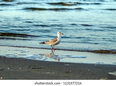seagull is walking on the beach