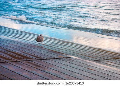 Seagull is walking on the pier
