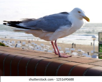 Seagull in Westerland / Sylt