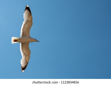 A Seagull with wide open spread wings. Shot from below while bird was in flight.