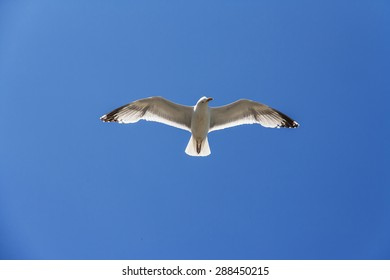 A seagull with wide open wings