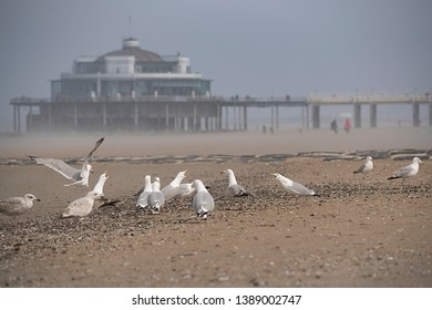 Seagulls at the beach of Blankenberge with the Pier, Jetty in background