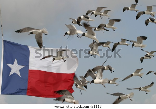 Seagulls by Texas Flag