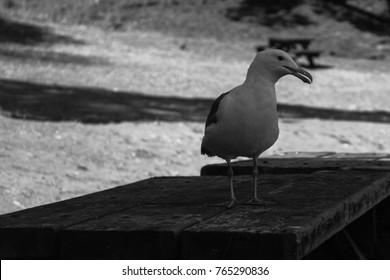 Seagulls in California