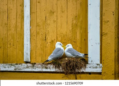 Seagulls couple two birds on nest against yellow wall. Lofoten islands, Norway
