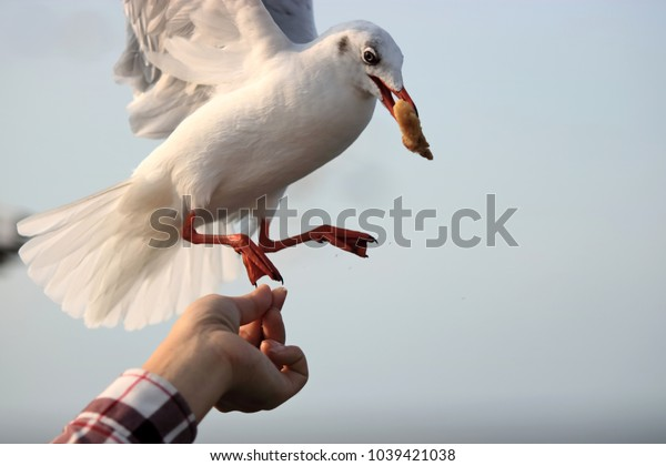 Seagulls feeding from human's hand