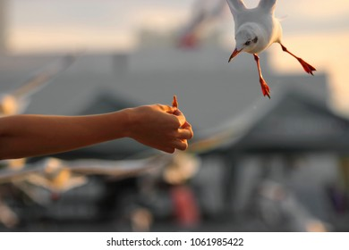 Seagulls feeding from human's hand. Selective focus and shallow depth of field.