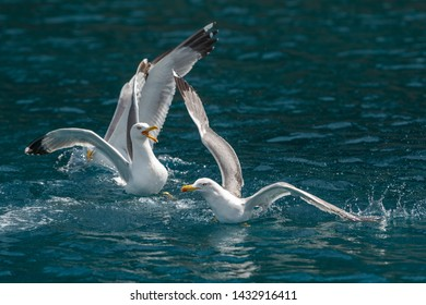 Seagulls flies over the sea and hunting down fish