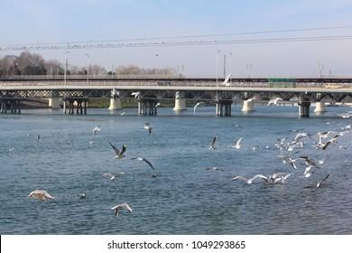 Seagulls in flight against the background of the blue river, the bridge and a view of the Kura River, Migechevir, Azerbaijan. Black-headed gull (Chroicocephalus ridibundus)