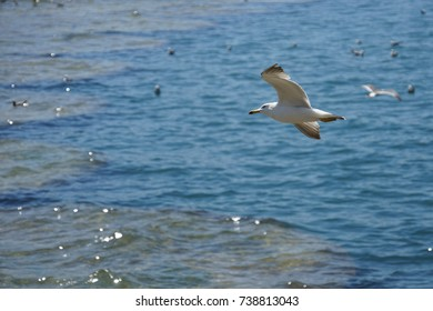 Seagulls fly and hunt above the sea on a sunny day