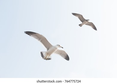 Seagulls fly in the sky