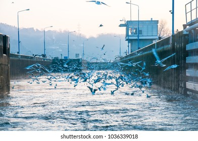 Seagulls flying above the water looking for food