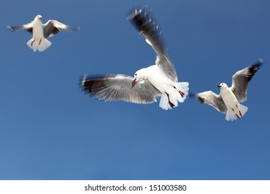 Seagulls flying against a blue summer sky.  Coastal birds.