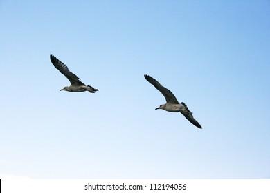 Seagulls flying in blue sky.