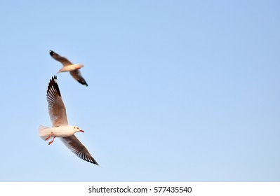 A seagulls flying in the clear sky